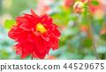 dahlia, dahlias, bloom 44529675