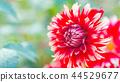 dahlia, dahlias, bloom 44529677
