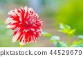dahlia, dahlias, bloom 44529679