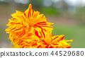 dahlia, dahlias, bloom 44529680