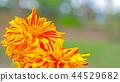 dahlia, dahlias, bloom 44529682
