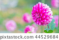 dahlia, dahlias, bloom 44529684