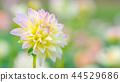 dahlia, dahlias, bloom 44529686