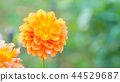 dahlia, dahlias, bloom 44529687