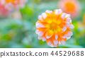 dahlia, dahlias, bloom 44529688