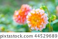 dahlia, dahlias, bloom 44529689