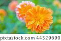 dahlia, dahlias, bloom 44529690