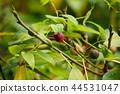 水果 枇杷 树叶 44531047
