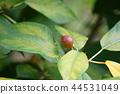 水果 枇杷 树叶 44531049