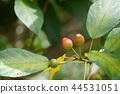 水果 枇杷 树叶 44531051