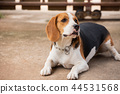 portrait of puppy beagle dog, animal concept 44531568