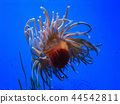 Sea Anemone in blue water 44542811