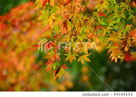 楓樹 紅楓 楓葉 44544543