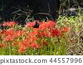 flower, cluster, amaryllis 44557996