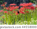 flower, cluster, amaryllis 44558000