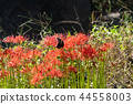 flower, cluster, amaryllis 44558003
