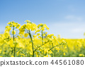 One side of a rape flower (close view) 44561080