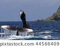 whale, whales, humpback 44566409