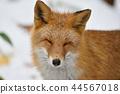 Kinta Fox在冬天 44567018
