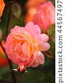 장미, 장미꽃, 로즈 44567497