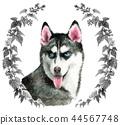 水彩绘的西伯利亚爱斯基摩人狗 44567748