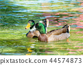 Mallard, Duck, bird 44574873
