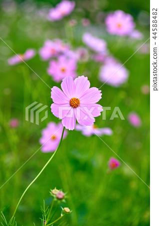 코스모스,가을, 꽃, 44588482