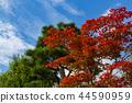 ต้นเมเปิล,ต้นออทัม,ท้องฟ้าเป็นสีฟ้า 44590959