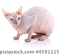 Animal, cat and sphinx concept - bald sphinx cat on white, 44591115