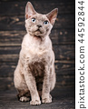 Devon-rex breed cat sits on a wooden background 44592844