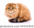 Adorable redhair Scottish Fold. Gold chinchilla kitty. 44592850