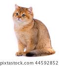 Smooth straight Scottish Cat. Red cat Gold chinchilla 44592852