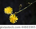 Two yellow flowers of wild dandelion 44603965