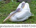 pelican, the, great 44607249