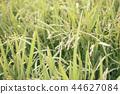 稻穗 水稻 玉米 44627084