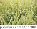 稻穗 水稻 玉米 44627086