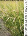 稻穗 水稻 玉米 44627087