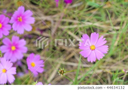 코스모스 코스모스 꽃 가을 44634132