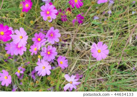 코스모스 코스모스 꽃 가을 44634133