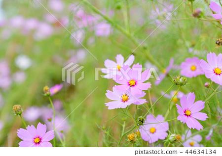 코스모스 코스모스 꽃 가을 44634134