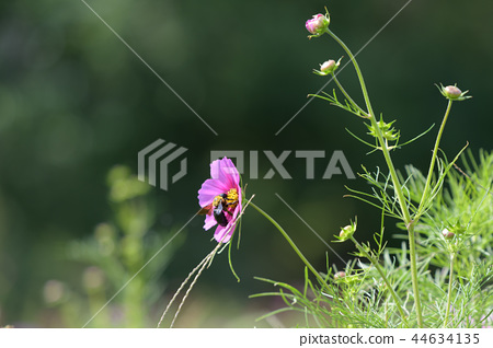 코스모스 코스모스 꽃 가을 44634135