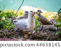 Seagull mom protecting her two chicks parenting 44638145