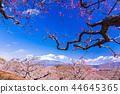 (시즈오카 현) 이와 모토 산의 매화와 후지산 44645365