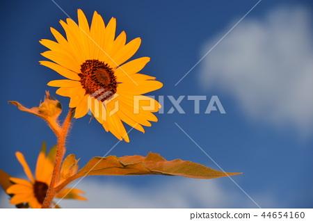 Summer sunflower 44654160