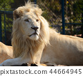 White lion in the zoo 44664945