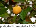 kaki fruit hanging from tree 44671229