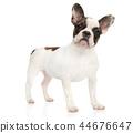 dog, french, bulldog 44676647