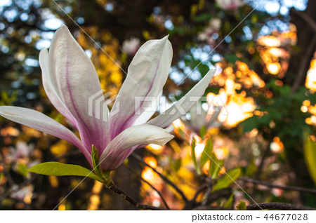 Blooming Magnolia Flower Close Up Colorful Plant Stock Photo