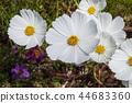 white cosmos flower closeup 44683360