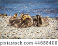 Cute little ducklings family together summer day 44688408